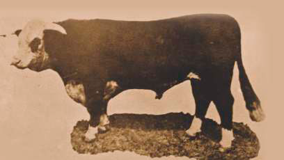 Toro importado por Santiago Bordaberry alrededor de 1900